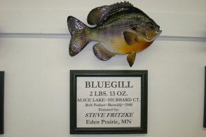 Mounted bluegill fish