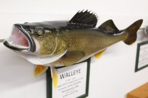 Mounted walleye fish