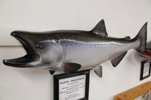 mounted king salmon
