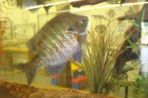 Fish in aquarium tank