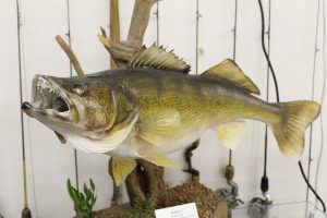 Fish mounted in the Minnesota Fishing Museum